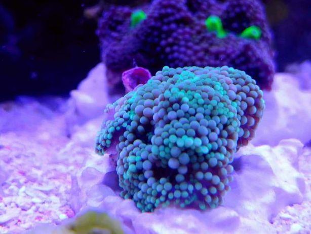 Ricordea Rainbow Green rzadkość (Akwarium morskie koralowce)