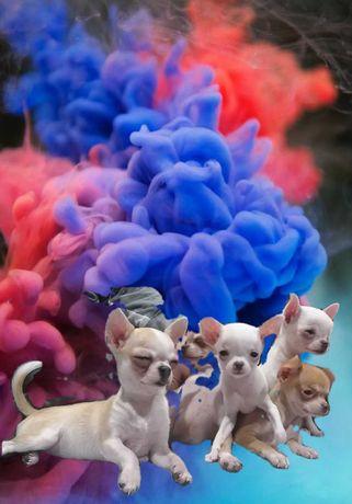 Chihuahua mikrusy odchowane dziewczynki