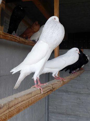 Garłacze Stawaki Śląskie Białe