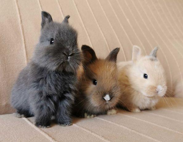 KIT Coelhos anões mini holandês e teddy lindíssimos