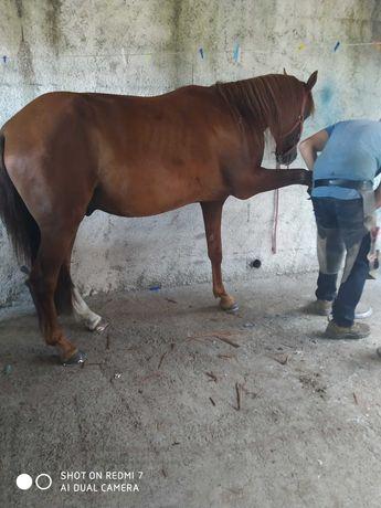 Cavalo lusoarabe