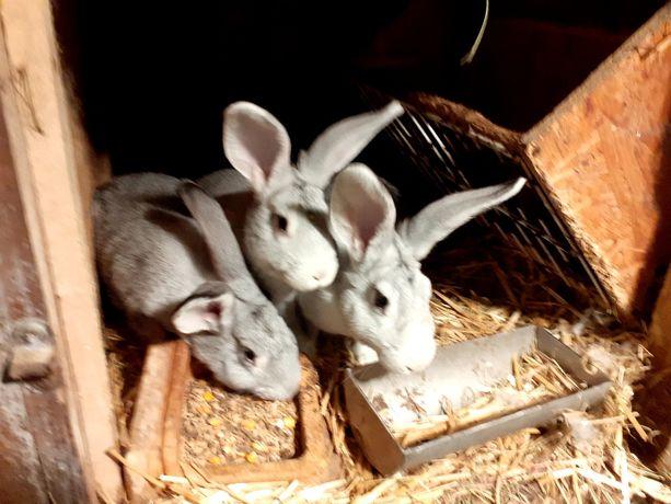 Sprzedam króliki samce samice