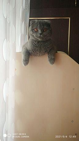 Продам британскую веслаухою  кошку