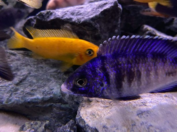 Placidochromis Phenochilus Mdoka White Lips 2+4