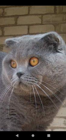 Британский вислоухий кот ищет невесту!с хорошей родословной !
