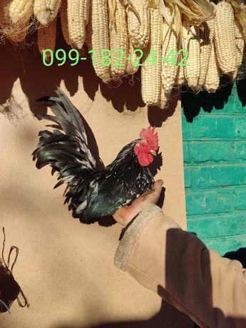 Петушок Шабо 6 мес