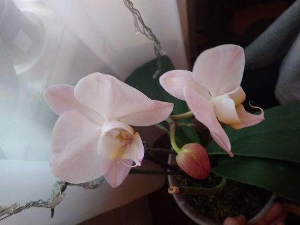Орхидея сортовая.