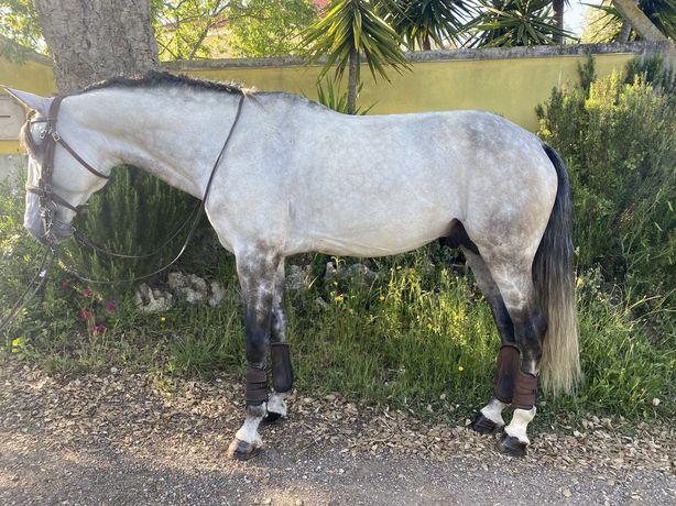 Cavalo lusitano puro com livro azul