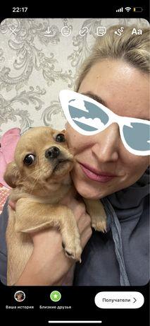 Продам щенков Чихуа-хуа 2 мессяца это любовь