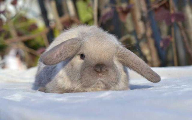 Królik Karzełek Baran Syjamski **BARANEK** miniaturowy króliczek