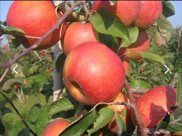 Jablka na sprzedaz hurt/ detal