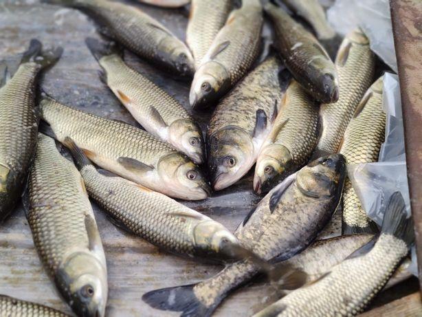 Sprzedaż ryb. Karp, tołpyga, amur, lin. Lubicz Dolny koło Torunia