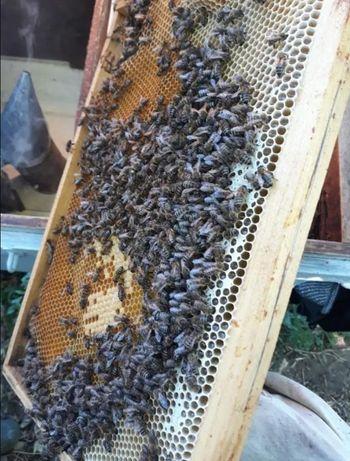 Матки бджолині Все плодные Украинская степная.