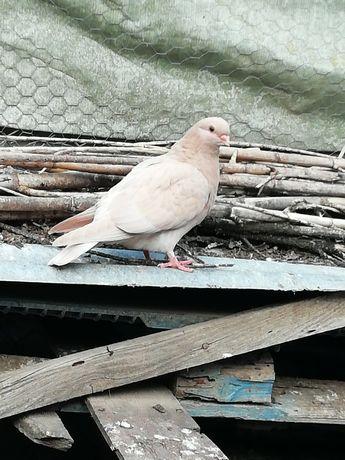 Vendo pombos de várias raças