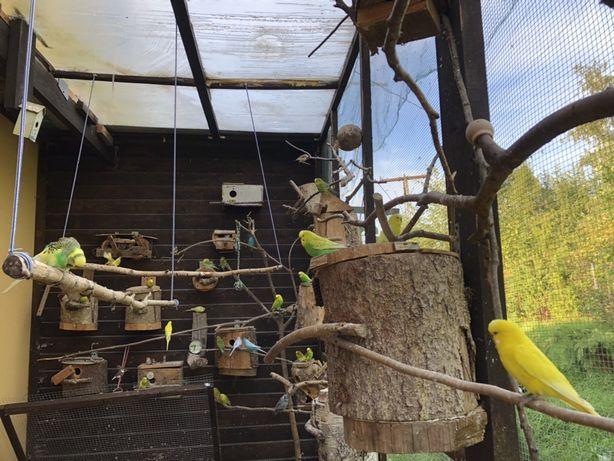 Papugi faliste, przepiórki