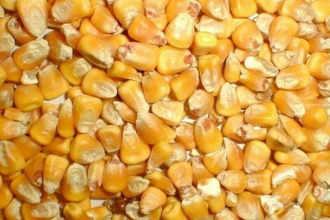 Кукурудза 60 грн відро