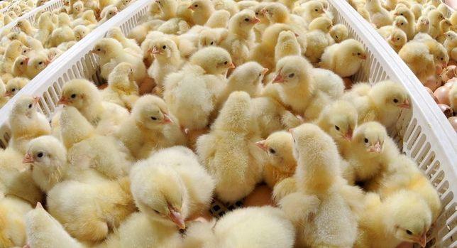 Продаються різновікові курчата