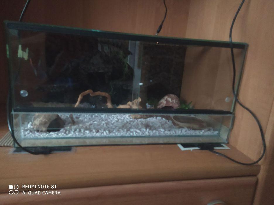 Gekon Lamparci z wyposażeniem