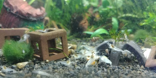 Krewetki Neocaridina White Pearl - nadwyżki
