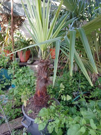 Palmeira envasada