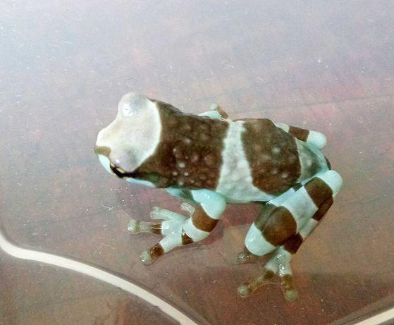 Жабовидная квакша голубая лягушка для новичков безобидная Фото реальны
