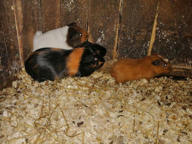 Cavia świnki mirskie