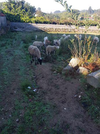 ovelhas prenhas r