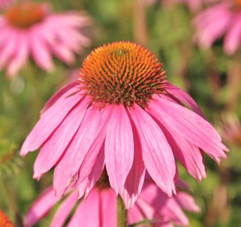 Sementes de Planta Equinacea