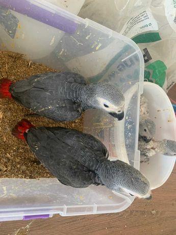 Papagaios  cinzentos  bebes