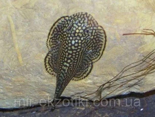 Нано рыбки: псевдоскат севилья, отоцинклюс негрос, Псевдомугил и  др.