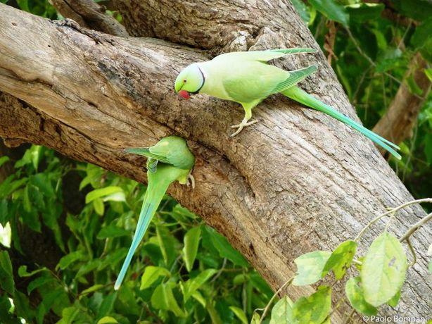 Ожереловый попугай различные цвета!