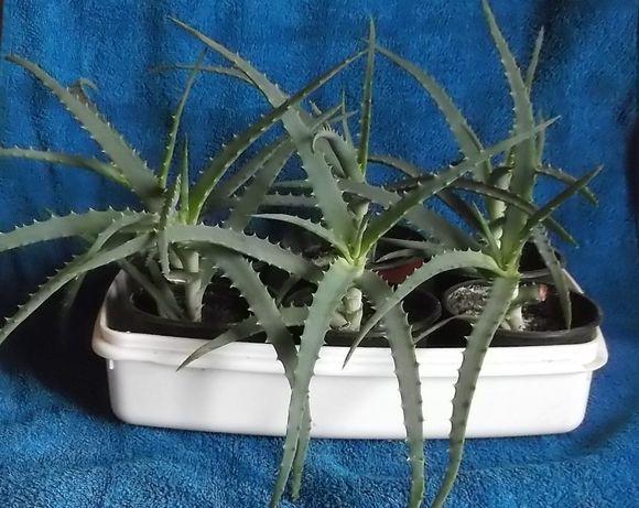 Kwiat Aloes leczniczy