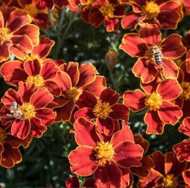Sementes flores comestíveis biológicas certificadas - várias espécies