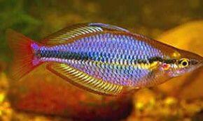 Tęczanka trójpręga, ryba 4,5 cm; Sklep zoologiczny AKWAREKS