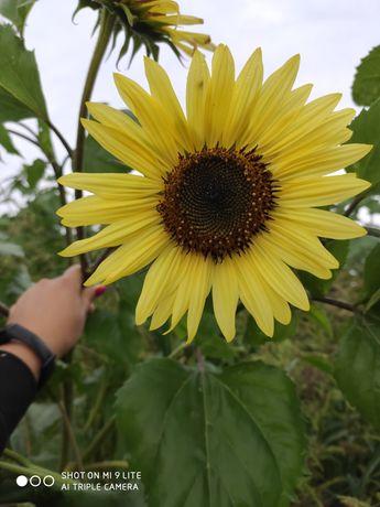 Słonecznik ozdobny bukietowy kwiaty