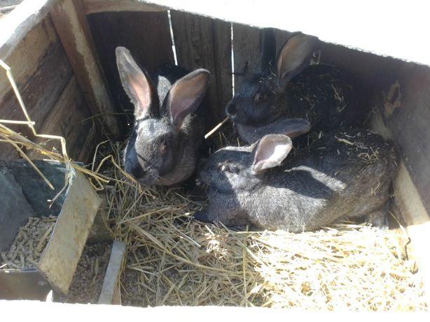 Продам злучені кролиці