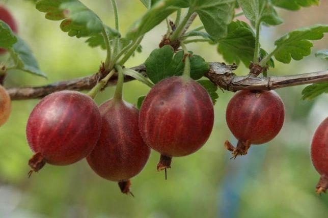 Agrest krzaczasty, agresty różne odmiany, agrest czerwony, zielony
