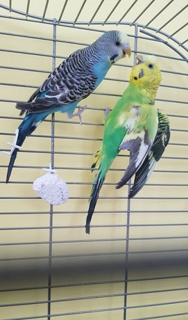 Papużki faliste samiec i samica ok. 6 m-cy z klatką
