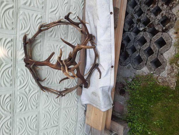 Żyrandol poroże jelenia