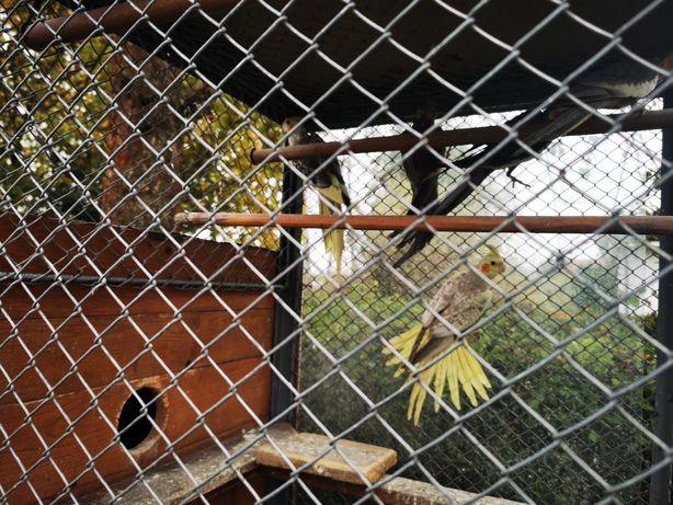 Nimfy papugi różne