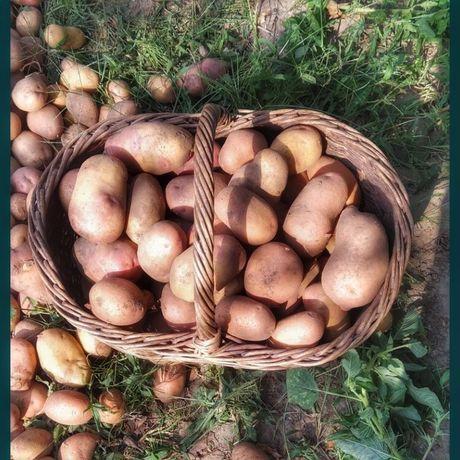 Картопля домашня, картошка домашняя! Срочно!