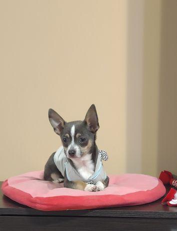 Chihuahua pies niebieski tricolor