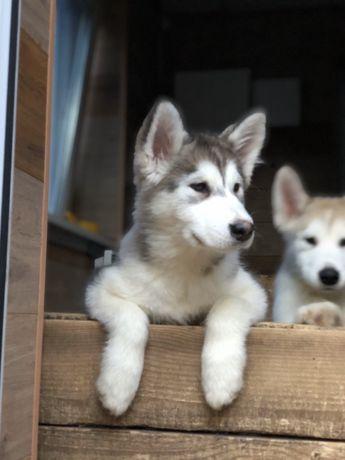 Мальчики Аляскинские Маламуты.