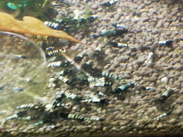 Krewetki pinto black zebra