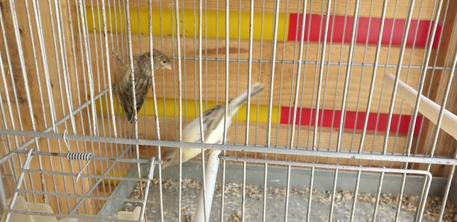 Canarios alerquim e personata fêmea