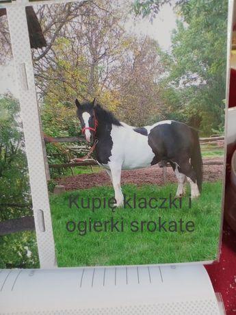 Konie klaczki ogierki karo srokate zimnokrwiste