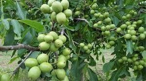 Саджанці грецького горіха Ідеал, Купити саджанці