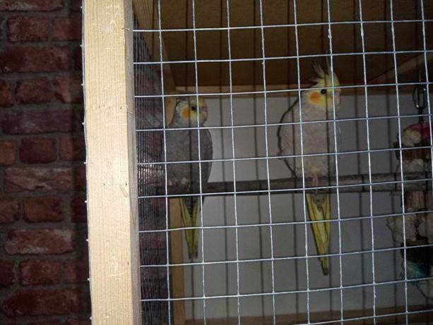 Papugi nimfy 4 miesieczne
