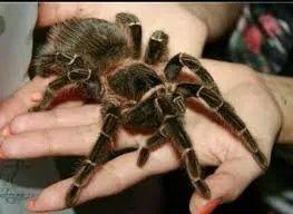 Домашнее животное паук птицеед