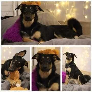 Шанти, красивая сообразительная собака